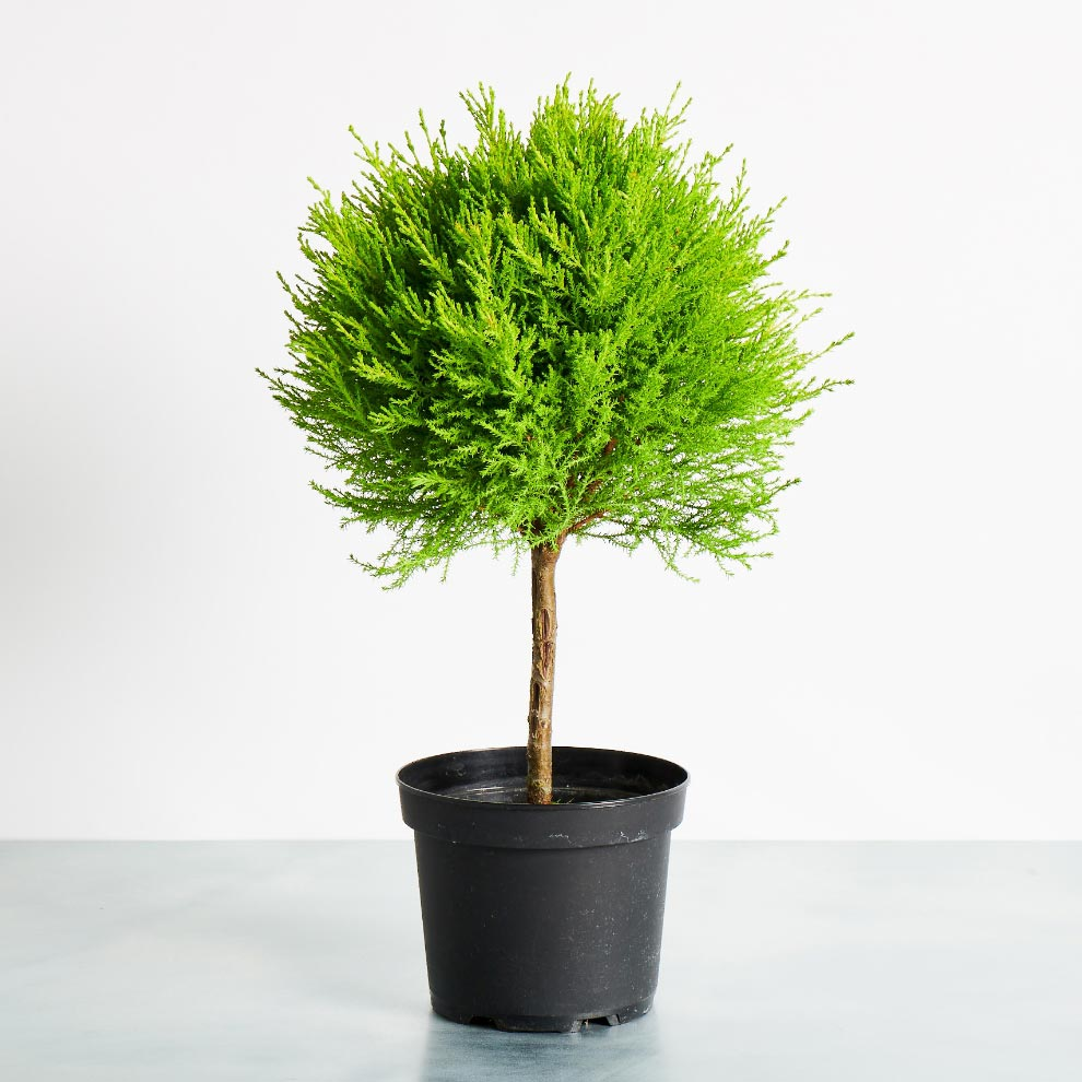 Baby Tree Potted